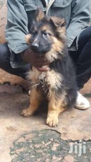 German Shepherd Pup | Dogs & Puppies for sale in Nairobi, Kitisuru