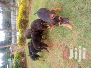 Cannine | Dogs & Puppies for sale in Uasin Gishu, Kapsoya