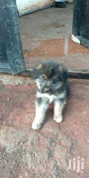 Puppies | Dogs & Puppies for sale in Nairobi, Ruai