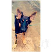 Pedigree GSD For Sale | Dogs & Puppies for sale in Mombasa, Port Reitz