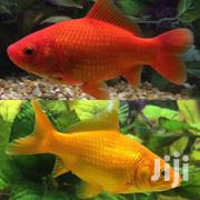 Aquarium and Pond Fish | Fish for sale in Nairobi, Woodley/Kenyatta Golf Course