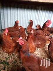 Brown Layers | Livestock & Poultry for sale in Uasin Gishu, Simat/Kapseret