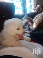 Japanese Spitz   Dogs & Puppies for sale in Mombasa, Magogoni