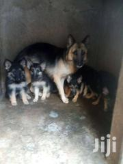 Dogs For Sale ... | Dogs & Puppies for sale in Machakos, Athi River