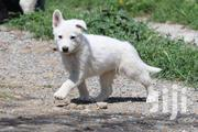 WHITE SWISS SHEPHERD PUPPIES | Dogs & Puppies for sale in Nairobi, Karen