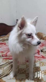7 Months Old Japanese Spitz | Dogs & Puppies for sale in Machakos, Athi River