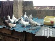 Doves | Other Animals for sale in Nakuru, Rhoda