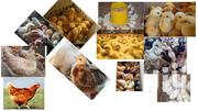 Quality Chicks Of Different Ages | Livestock & Poultry for sale in Kisumu, West Kisumu