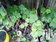 GRAPE SEEDLINGS   Meals & Drinks for sale in Machakos, Athi River