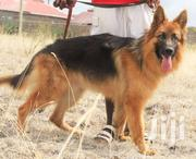 Registered Male Longcoat Gsd | Dogs & Puppies for sale in Kiambu, Gitothua