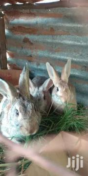 Rabbit Very Cheap | Livestock & Poultry for sale in Machakos, Mumbuni North