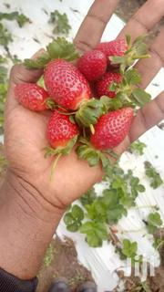 Strawberry Runners And Splits Chandler Variety | Home Accessories for sale in Machakos, Syokimau/Mulolongo