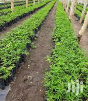 Bamboo Seedlings | Meals & Drinks for sale in Murang'a, Gaturi