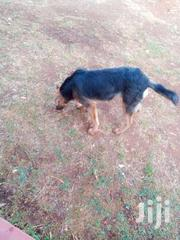 German Shepherd 8months Old | Dogs & Puppies for sale in Uasin Gishu, Racecourse