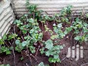 GRAPE SEEDLINGS.   Meals & Drinks for sale in Machakos, Athi River