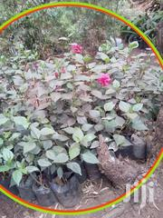 Hibiscus, Hydragia And Bamboo & More Flowers | Garden for sale in Nairobi, Karen