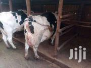 Dairy Cattles For Sale | Livestock & Poultry for sale in Kiambu, Githunguri