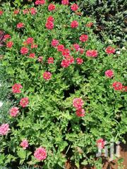 Verbena And Other Ground Cover Plants | Garden for sale in Nairobi, Karen
