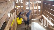Male Goats Good For Breeding Dairy Goats | Livestock & Poultry for sale in Embu, Mbeti North